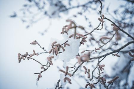blossom of a hazelnut tree with snow