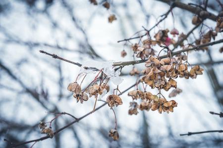 winter bush with fruit legume 版權商用圖片