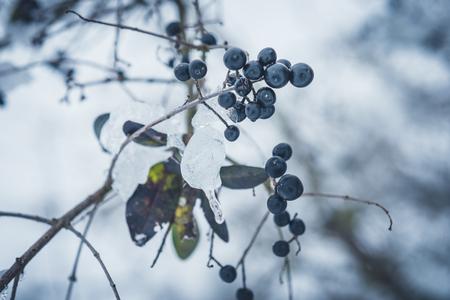 bush with black berries - winter 版權商用圖片