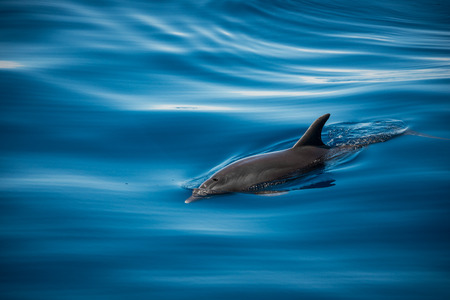 Whale watching with dolphin sighting off the coast of Tenerife Stock Photo