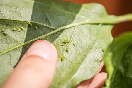 Green aphids on a chili plant 版權商用圖片 - 92205673