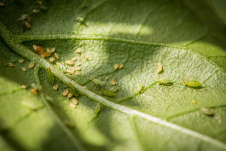 Green aphids on a chili plant 版權商用圖片
