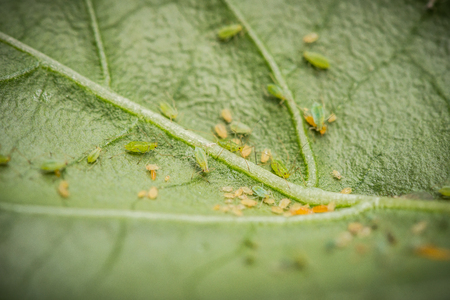 Green aphids on a chili plant Stock Photo
