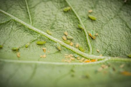 Groene bladluizen op een chili plant