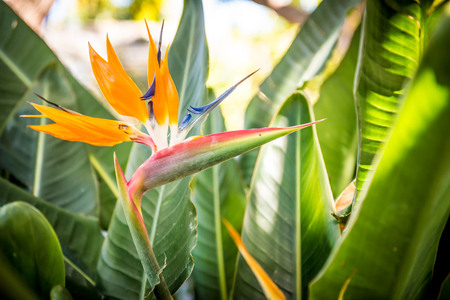 Strelitzia - the Flower of Tenerife 版權商用圖片