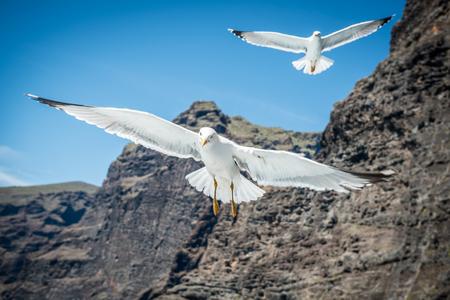 Walvisvangst met meeuwvoeders op Tenerife Stockfoto