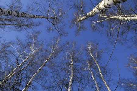 tree landscape: Russia. Treetops against blue sky, from below view.