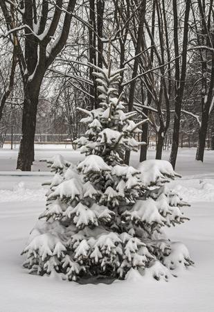 fir  tree: Russia. Snowfall. Winter snow covered fir tree.