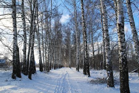 birchwood: Birchwood in the winter in Russia Stock Photo