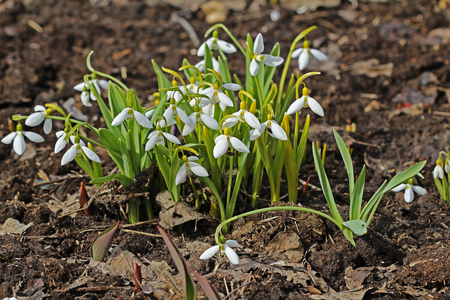 nivalis: Beautiful white spring flowers snowdrops, Galanthus nivalis. Russia.