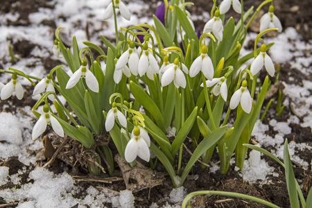 galanthus: Spring snowdrop flowers with snow, Galanthus nivalis. Russia. Stock Photo