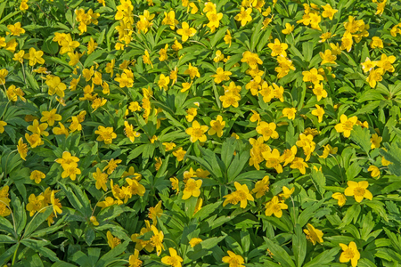 repens: Beautiful poisonous yellow flowers Ranunculus repens in spring day. Russia.