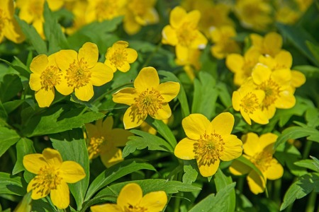 Beautiful poisonous yellow flowers ranunculus repens in spring beautiful poisonous yellow flowers ranunculus repens in spring day russia stock photo 58374160 mightylinksfo