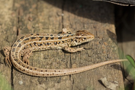 viviparous lizard: The brown viviparous lizard Lacerta agilis. Spring, Russia. Stock Photo
