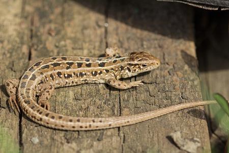 viviparous: The brown viviparous lizard Lacerta agilis. Spring, Russia. Stock Photo
