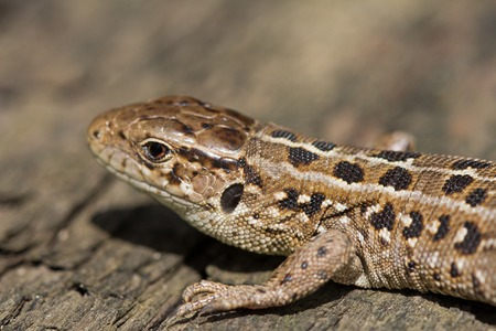 viviparous: Head of brown lizards Lacerta Agilis with a small bug on it. Russia.