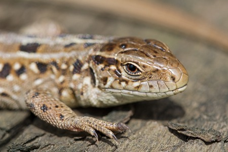 animal viviparous: The head of the sand brown lizard, Lacerta agilis. Spring, Russia.