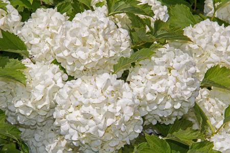 White flower of the snowball viburnum buldenezh in bloom stock stock photo white flower of the snowball viburnum buldenezh in bloom mightylinksfo