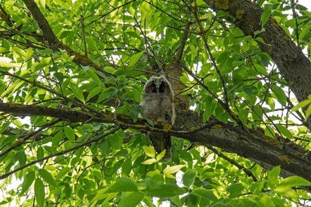 eared: Little long eared owl sitting on a tree branch. Asio otus.