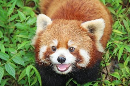 catlike: The Red Panda, Firefox in Chengdu, China Stock Photo