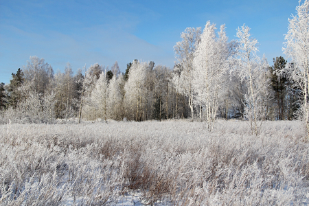 snowy field: Christmas background with winter forest. Winter landscape with frozen trees and blue sky. Stock Photo
