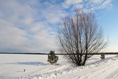 snowy field: A single tree on a white snowy field near the road and blue sky. Winter. Russia.