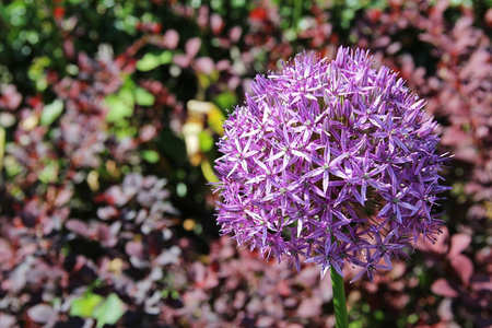 Beautiful Purple Allium flower (Decorative Onion) with green natural background. Perfect image for: pink alliums flowers, close up head detail, allium isolated with blurred background, florist and gardening, etc.