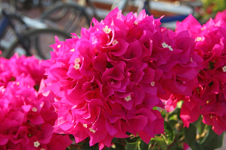 Bright pink flower Bougainvillea spectabilis Willd. Turkey.