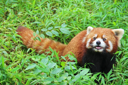 The Red Panda, Firefox in Chengdu. China.
