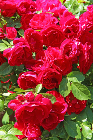 Flowers - many blooming red roses bunched together on a rose bush. Russia. 写真素材