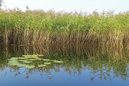 High sedge is reflected in a forest lake. Russia. 写真素材