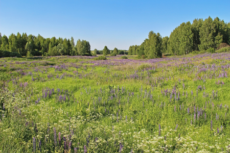 Green grass field with white and purple flowers in summer day. Forest edge. Russia.