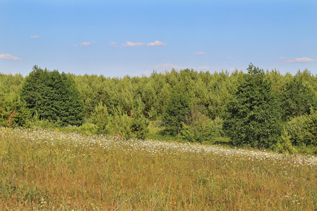 Green grass field with white flowers in summer day. Forest edge. Russia.