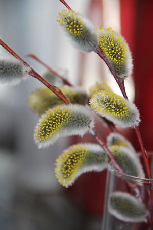 Early spring flowering male catkins (pussy willow, grey willow, goat willow). Branches with Expanded buds for Easter decoration. Close-up of Willow twig as a spring symbol. 写真素材