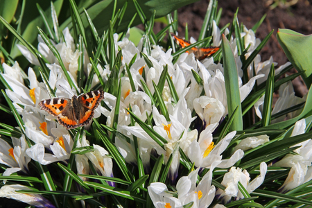 Blooming white crocus flowers and colorful butterfly Urticaria in the early spring. Russia.