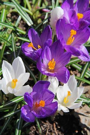 Blooming purple crocus flowers in the early spring. Russia.