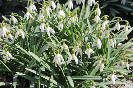 Beautiful white spring flowers snowdrops, Galanthus nivalis. Russia.