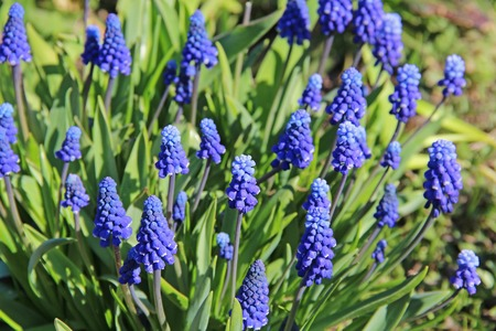 Perennial bulbous plant Muscari or murine hyacinth early spring. Russia. 写真素材