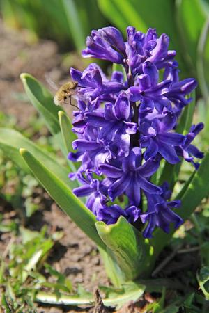 Purple spring hyacinth flower in a garden. Russia.