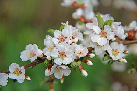 White petals of a nanking cherry blossoms in spring. Prunus tomentosa. Russia.