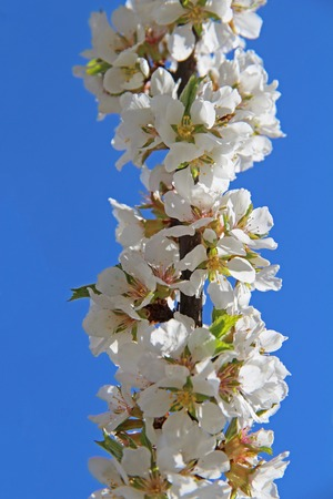 Blooming felt cherry against the background of blue sky in early spring. Prunus tomentosa. Russia.