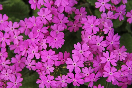 Beautiful spring pink flowers Primula sieboldii. Russia. 写真素材