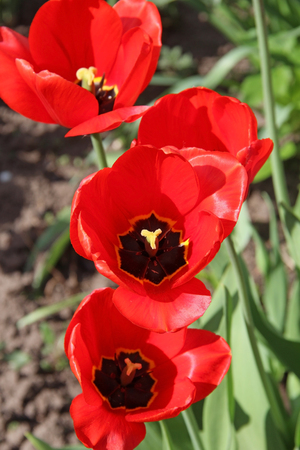 Red tulips, blooming in a garden in spring. Russia.