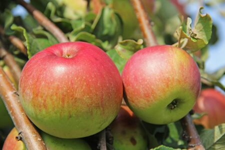 Red-yellow Shtrifel apples on apple tree branch. Russia.
