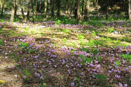 Pink purple wild flowers cyclomens in the autumn forest in the national park Krka Croatia. Stock Photo
