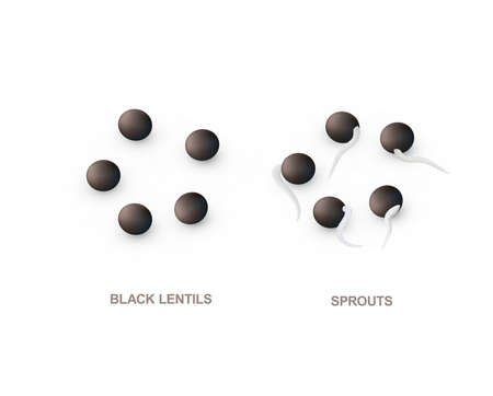 Set of realistic black lentils and sprouts for healthy eating. Vector illustration isolated on white background.