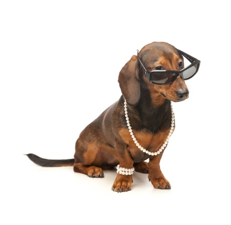 dachshund with sunglasses 2