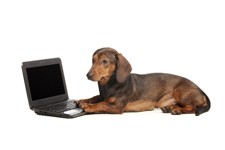dachshund with laptop