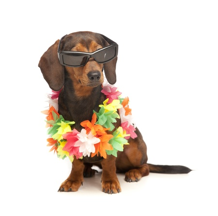 vacation dachshund Stock Photo