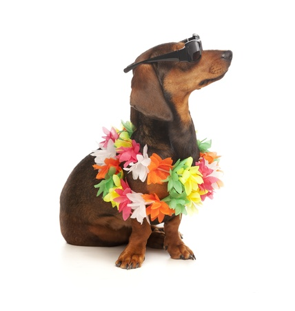 vacation dachshund Stock Photo - 12856867